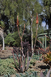 Towering among other plants is the Aloe shadenisis. it's base is a reddish green color and it has long skinny flowers.