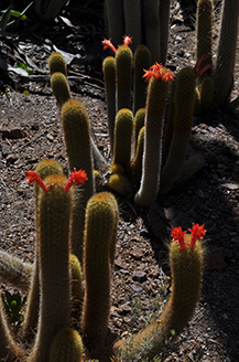 A group of Cacti growing together with some sporting bright red rose buds