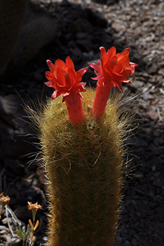 A single cacti with two red flowers blooming from it