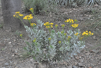 pale shrubby plant, Senecio decaryi, with bright yellow flowers