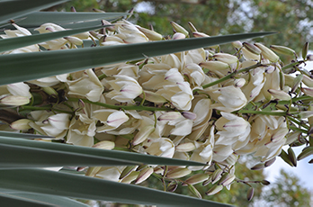 Waxy-white flowers coming into bloom
