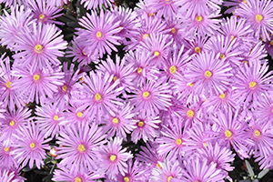 A closeup on a group of light purple flowers