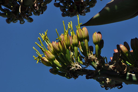 close up of the green narrow blooms of agave gentryi