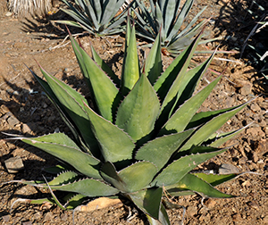 A green agave plant with spikey narrow leaves in the ruth bancroft garden