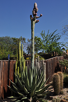 a spikey green agave plant with a large flower spike shooting from the middle of the plant