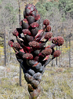 brownish-red flower stalk on agave montana