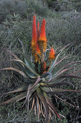 large gray-green aloe plant with thin leaves and red flower stalks