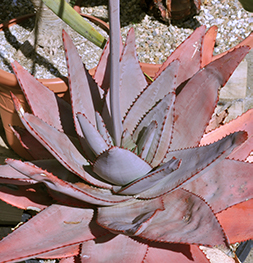 An Reddish purple aloe