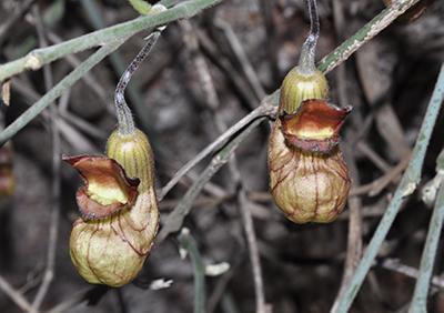 A strange pitcher like plant
