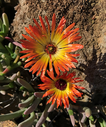 A bright redish-orange spikey flower on cephalophyllum aureorubrum at the ruth bancroft garden