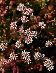 Crassula pubescens ssp. radicans - flowers pink flowers in tight bunches