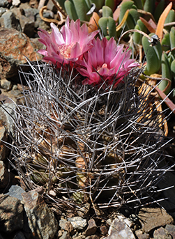 round, spikey cactus with two bright pink flowers