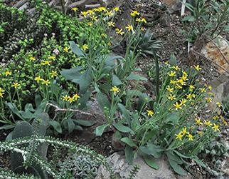 multiple succelents bloom in unision