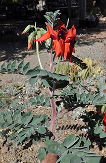 A plant blooming with Tall red leaves at the top of it
