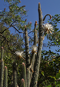 A long cactus grows skywards with a single flower emerging from it