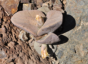 a rocklike plant at the ruthbancroft garden