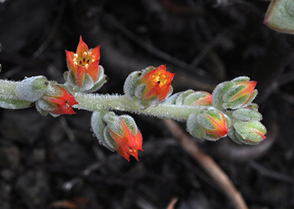 A fuzzy stem with bright red buds