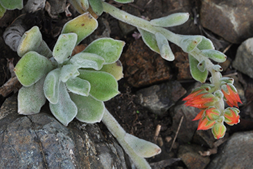 A fuzzy succulent with a fuzzy stem with bright red buds at the end of it.