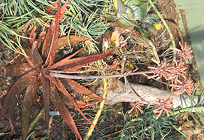 A reddish-brown aloe with spiky edges and tall long stalkings going skyward