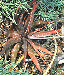 A reddish brown aloe with spiky edges