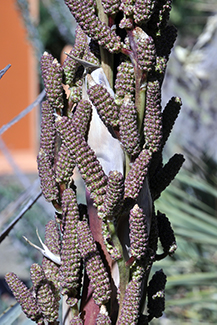 many black pinecone like buds from on a stalk