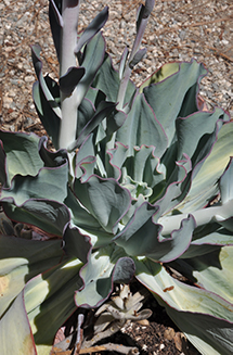 A plant with smooth leaves with wavy edges