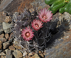 aerial shot of a round, medium size dark blue cactus with long spines and three bright pink flowers