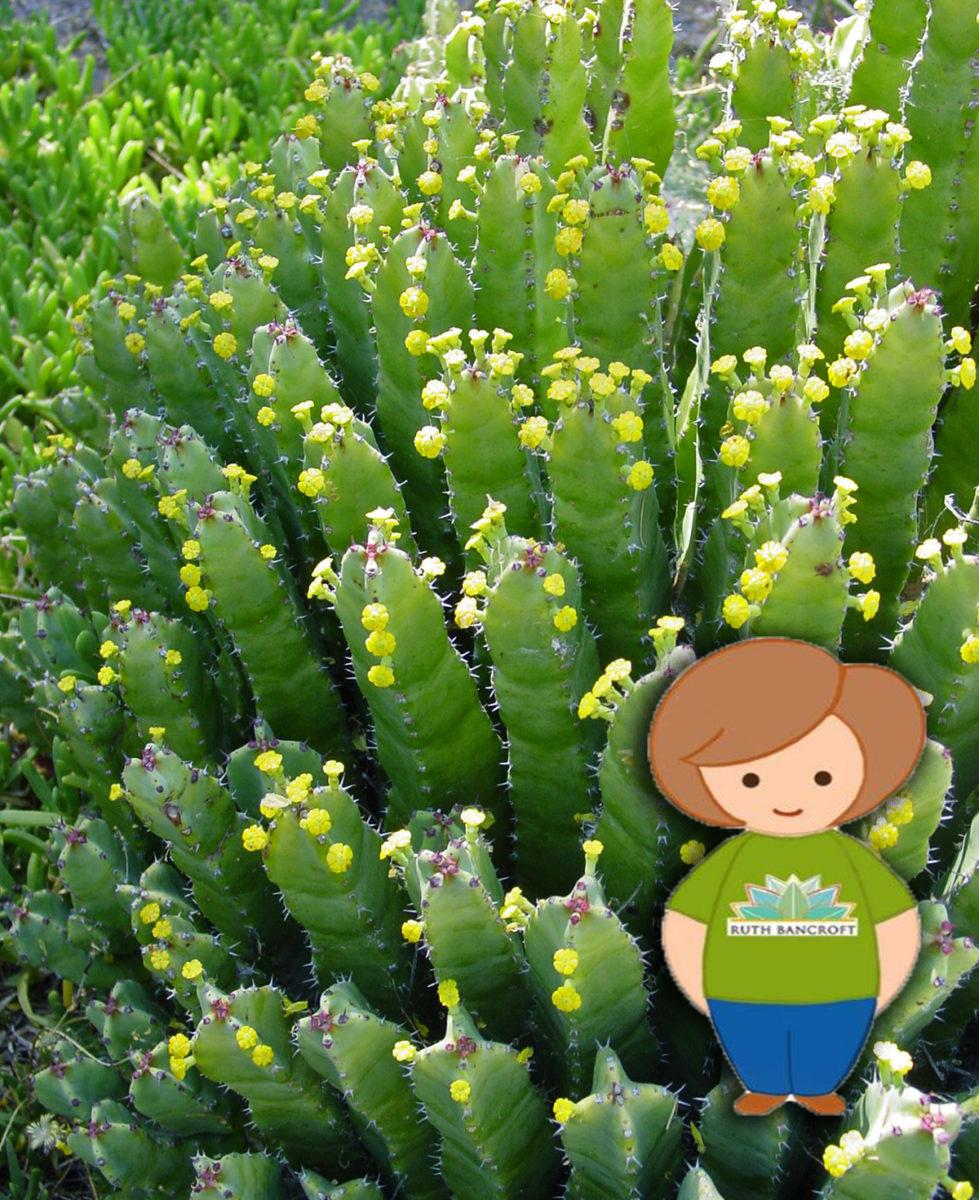 Junior Botanist Euphorbia The Ruth Bancroft Garden Nursery