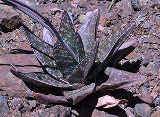 An aloe like plant
