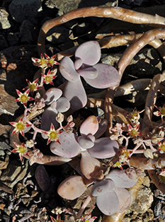 A bluish purple succulent plant grows in the shade
