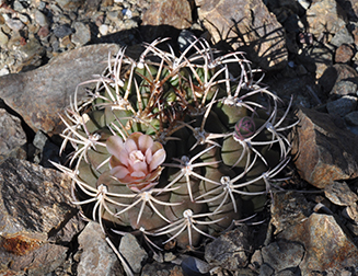green, dome-shaped cactus with sharp spines and whitish pink flowers blooming