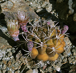 Small, round, yellow cactus with two white flowerbuds