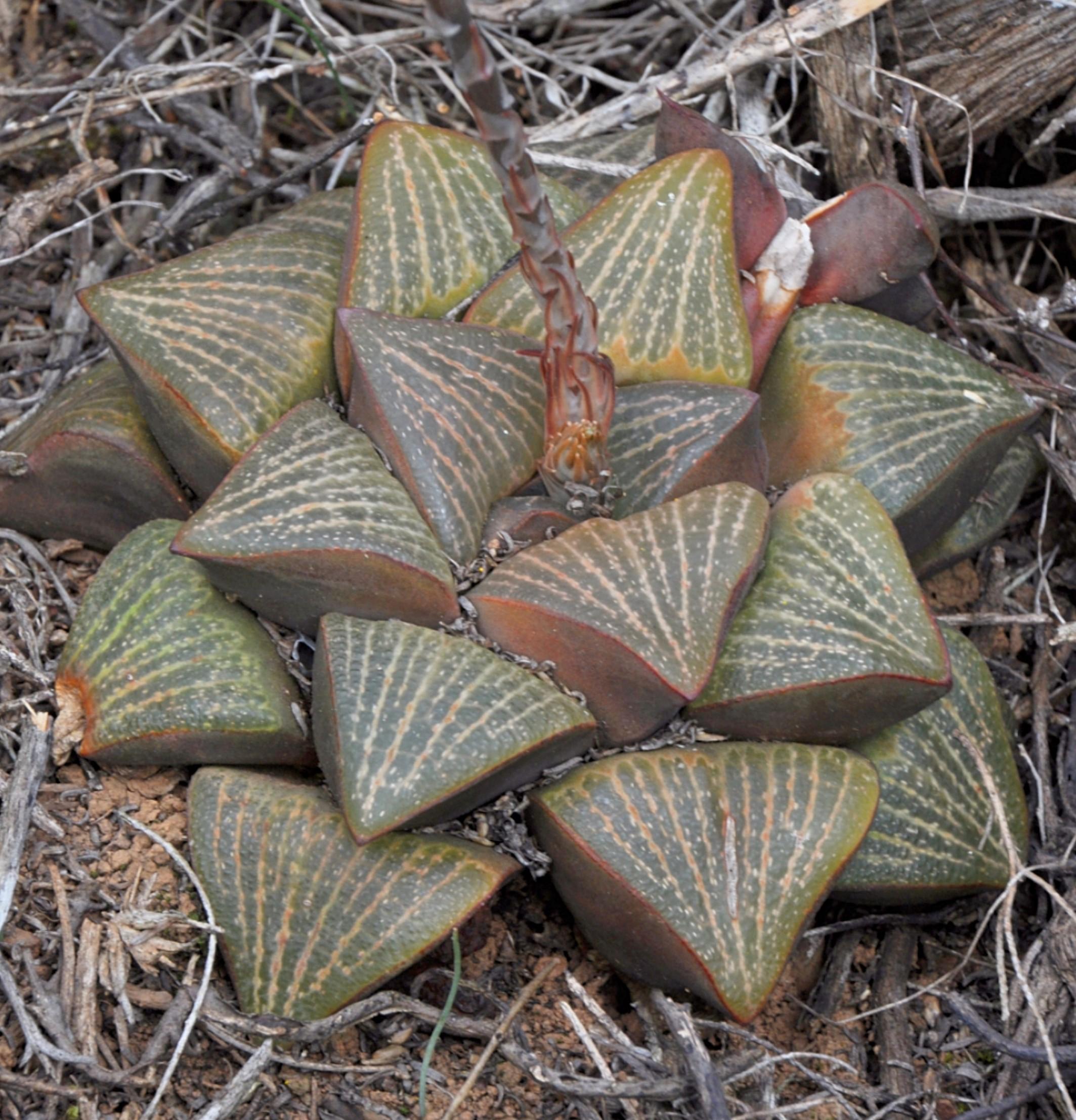 Haworthia magnifica v. dekenahii