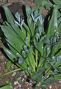 A plant with large smooth blueish green leaves at the Ruth bancroft garden