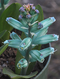 a blueish-green flower with round leaves