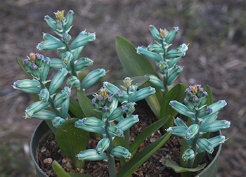 A group of blueish green flowers with blimp-like leaves at the Ruth Bancroft Gardens