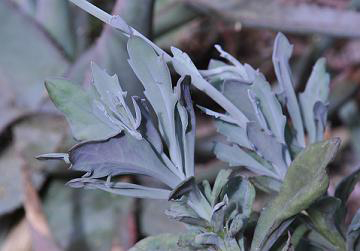 The leaves of a plant with a graysih color