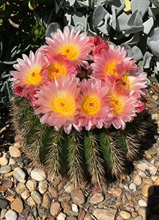 A short,round cactus comes into bloom at the Ruth Bancroft Gardens
