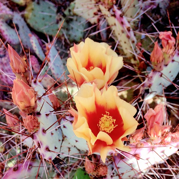 flowering Opuntia macrocentra, cactus, red and yellow flowers