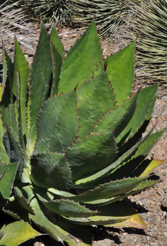Agave bovicornuta at the Ruth Bancroft Garden
