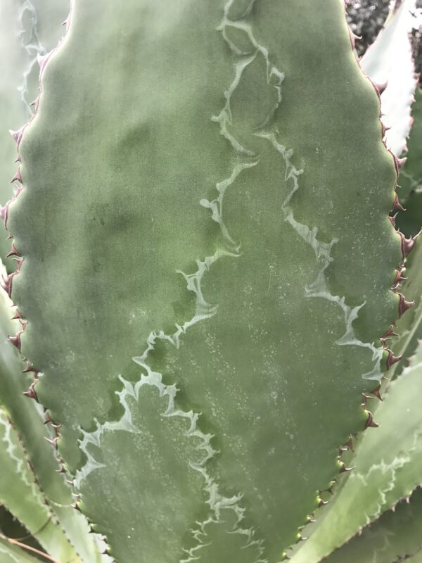 Bud-printing on a agave leaf