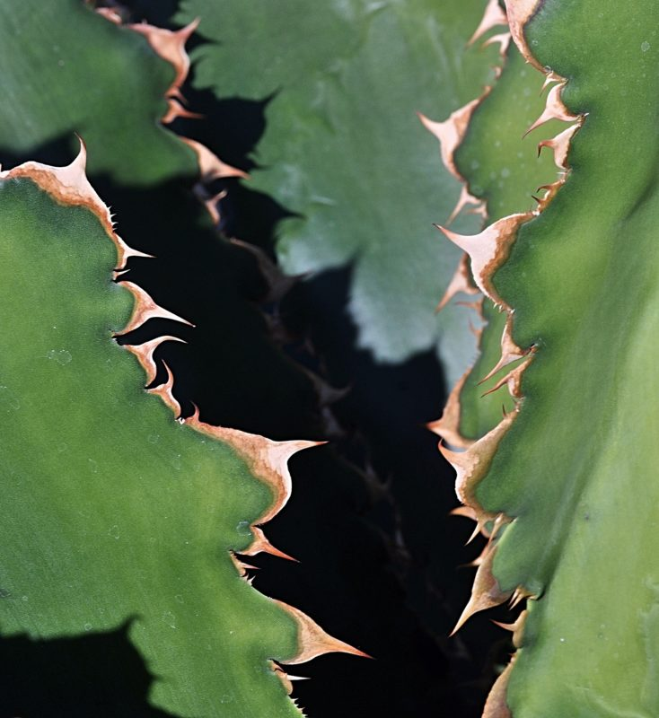 The elaborate toothy margins of the leaves