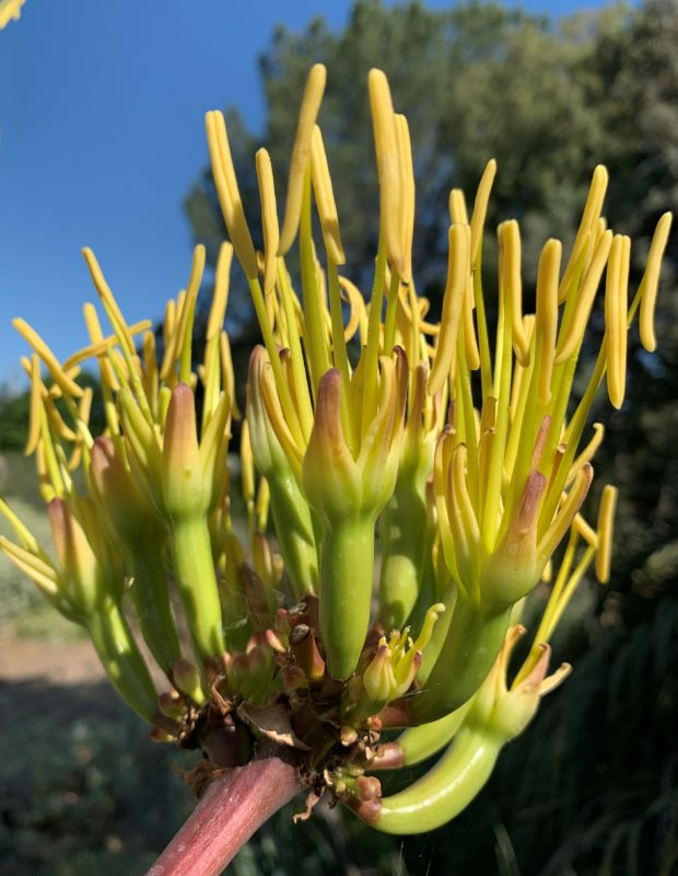 The flowers of Agave bovicornuta