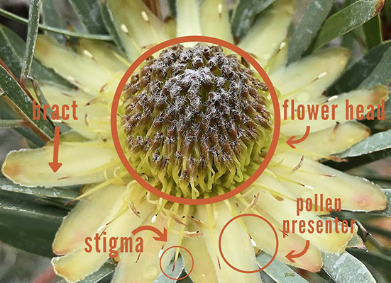 Up close shot of yellow protea flower showing different parts