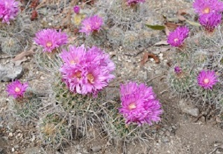 A group of cacti growing togher in clumps with purple flowers blooming from them