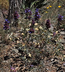 A group of plants with dryish appearnces that have long stalks with purple flowers emerging from them