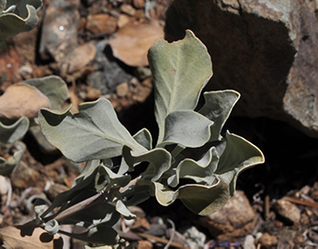 A plant with dryish leaves