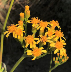 Small bright yellow flowers that look like daisy's. They are the flowers of Senecio decaryi