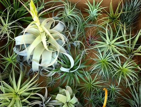 pale green and grey wispy tillandsia plants