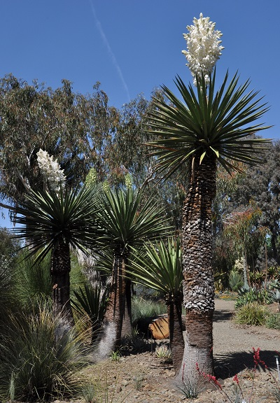 Several Yucca carnerosana in bloom
